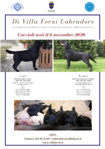 Nuova Cucciolata Villa Forni Labradors